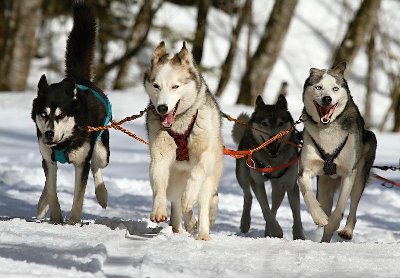 Hundeschlittenfahren Kanada