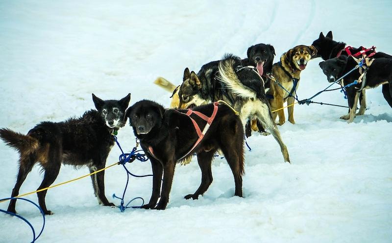 Schlittenhunde Yukon